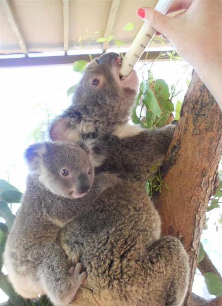How many times female Koalas give birth?