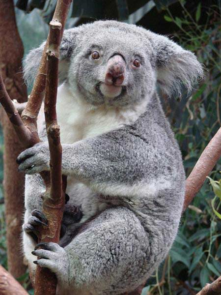 Female Koalas can give birth for upto 10 years.