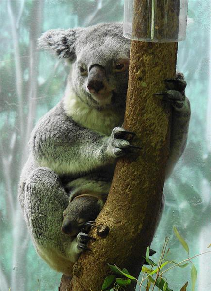 Female Koalas give births for 5 times.