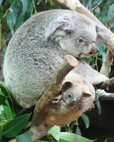 Food Consumption of Female Koalas.