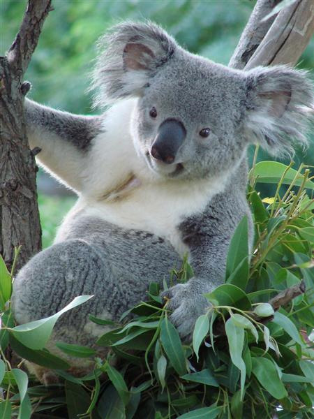 Female Koalas are very selective eaters.