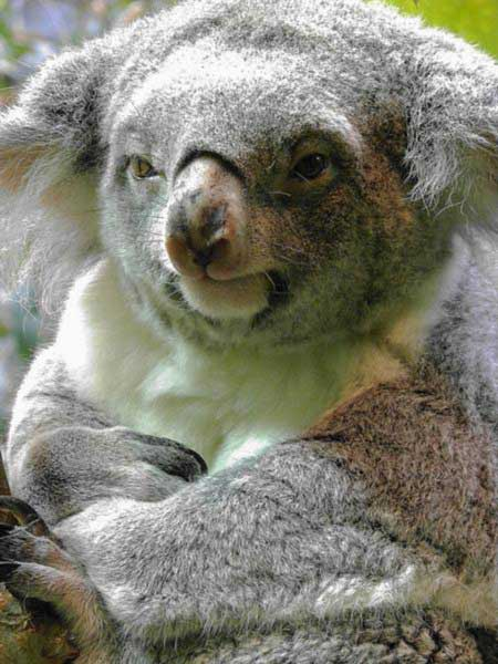 How many times female Koalas give birth?