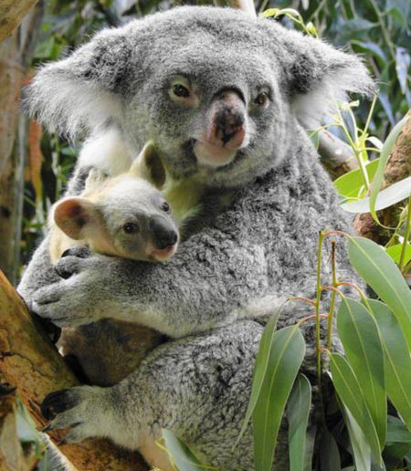 Female Koalas have small Gestation Period.