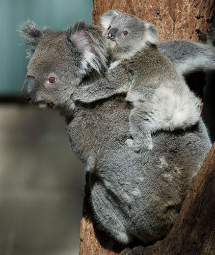 lactating female Koalas eat more food.
