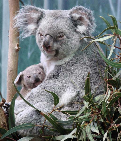 Lactating Female Koala.