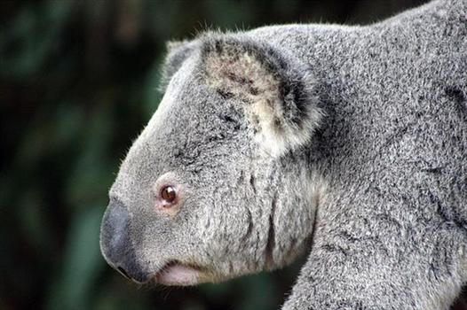 Koalas living millions of years