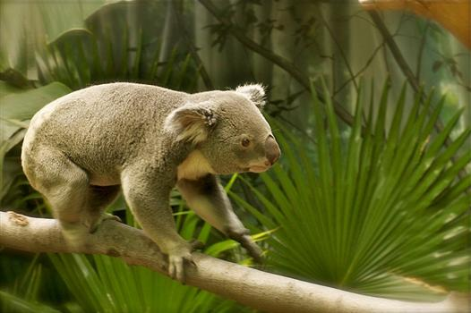 Origin of the Koalas