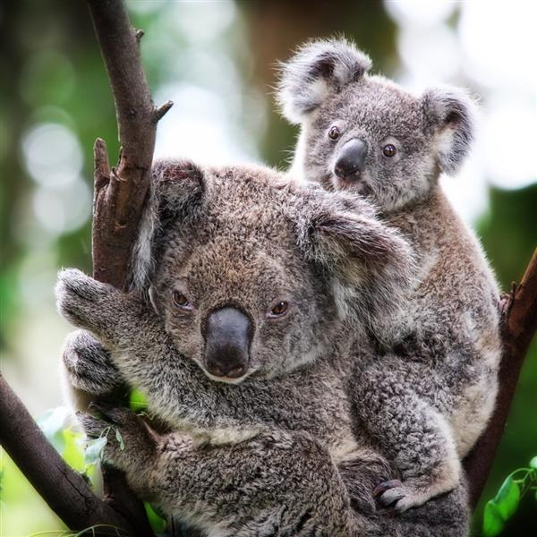 Koala Predators and Dangers.