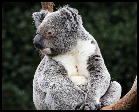 Koala Picture and Photo