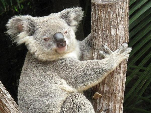 Koalas tolerate Cyanide Compounds