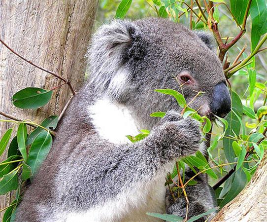 Koalas eat Eucalyptus Leaves