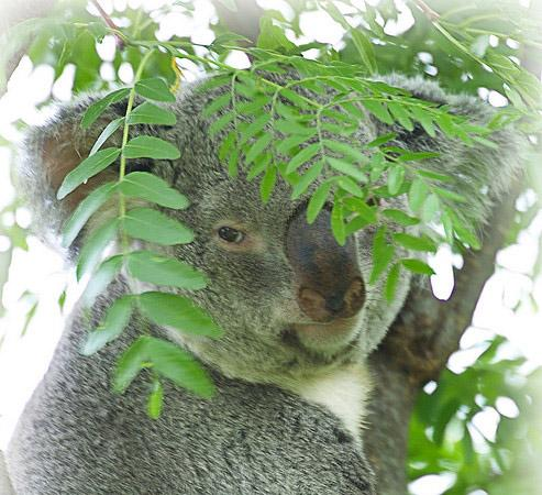 Koalas and Nourishment from Eucalyptus Leaves