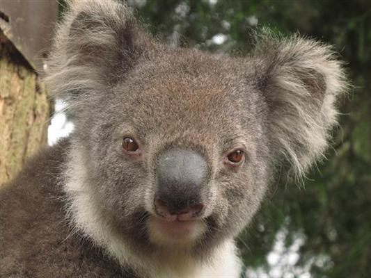 Koalas eyes are Button-shaped