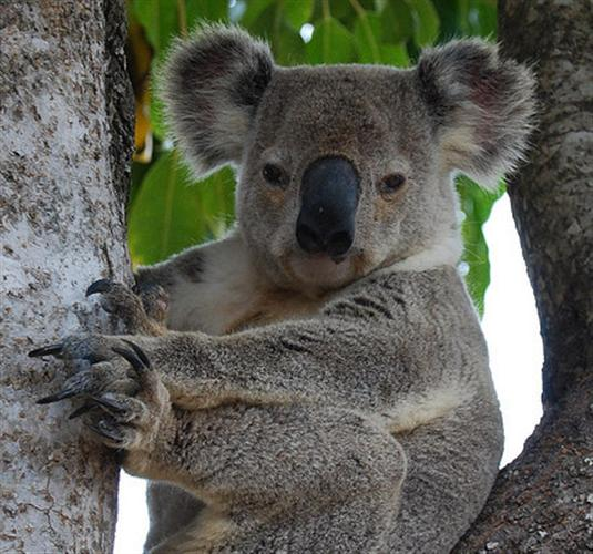 Koalas have rounded Ears