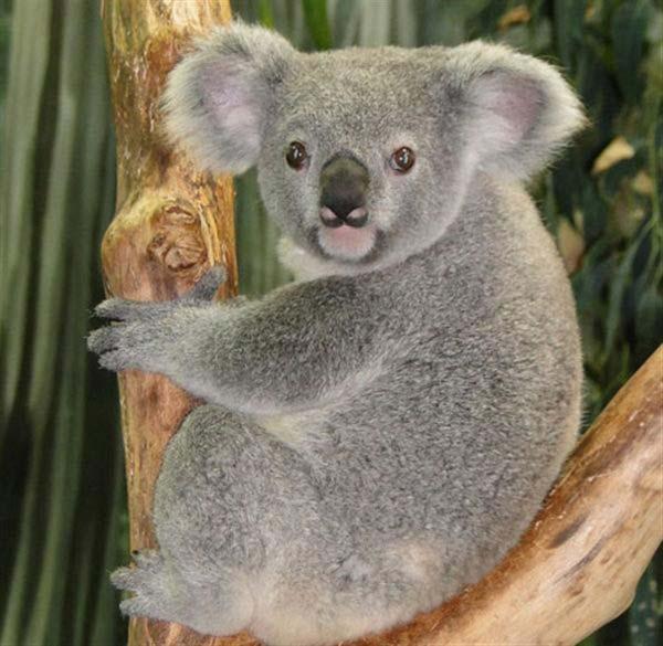 Do Koala Live On Kangaroo Island