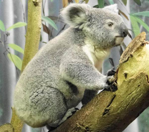 Koalas live for 12 to 16 years.