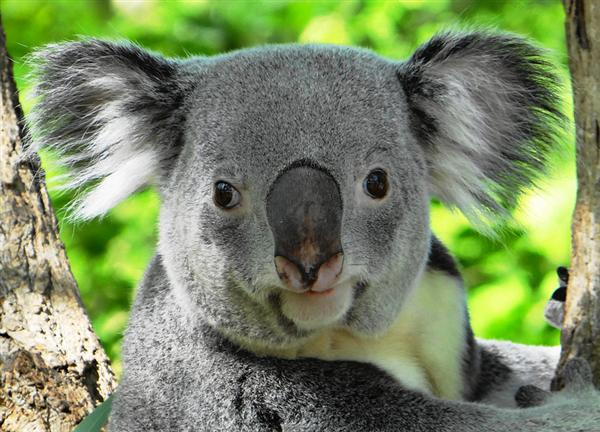 Average Age of the Koala.