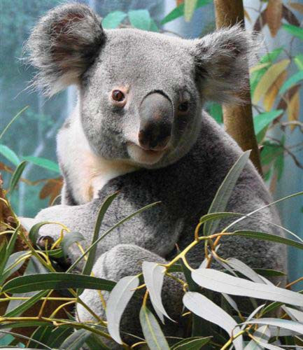 Male Koalas from Queensland live less as comapred to Victorian Koalas.