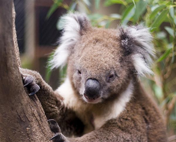 Koalas like fertile soils for their living.