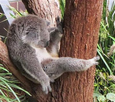 Koalas live in Green Areas.