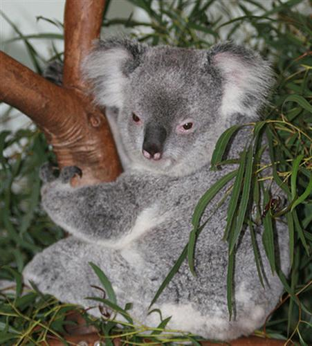 Koalas have to rest to save their energy calories.