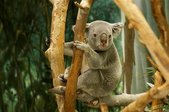 Koalas are more popular in Local Australia than Global World.