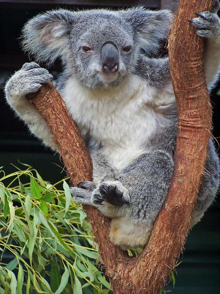 Koalas are recognized through their dominant nose.