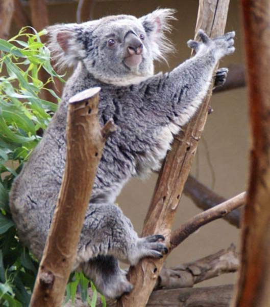 Koalas' eating behavior is unique.