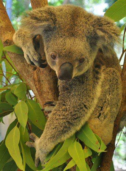 Koalas' Social Behavior.