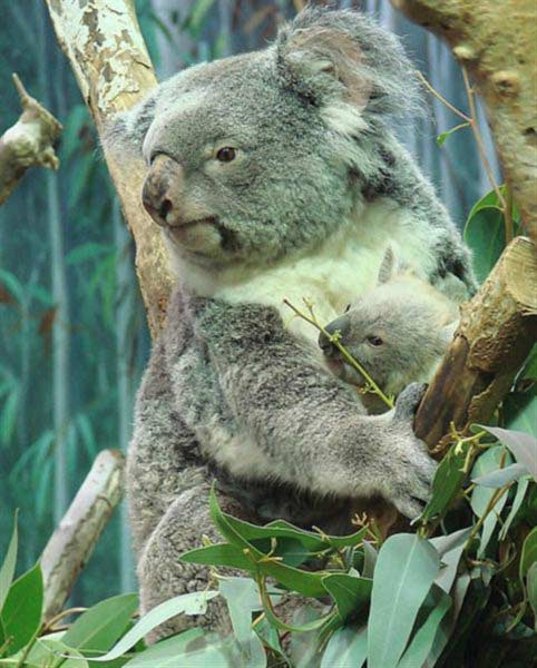 Koalas as Solitary Herbivores.