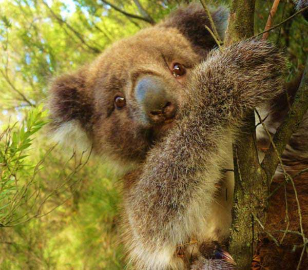 Koalas behavioral lifestyle.