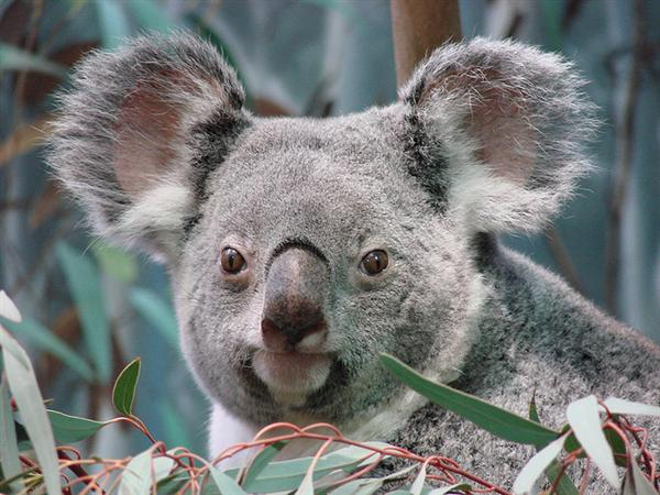 Brisbane Koalas are bigger in terms of their sizes.