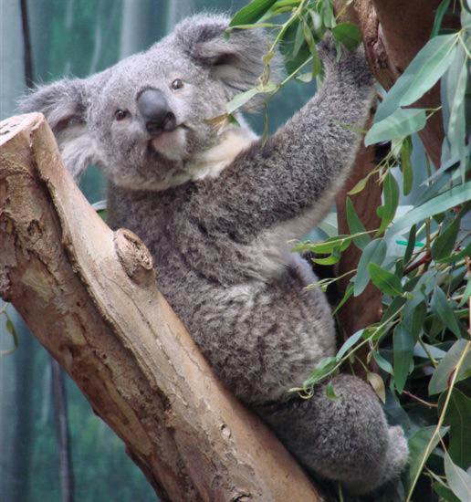 Koalas in Brisbane Australia