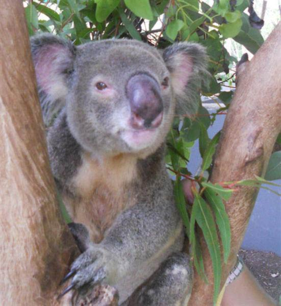 Koalas life is threatened by bushfire.