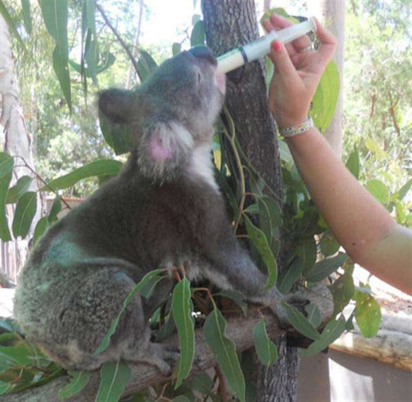 Koalas' deaths through Bushfire.