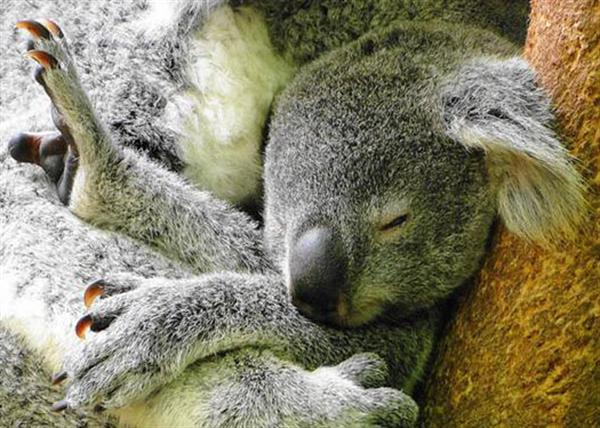 Koalas' claws are defensive weapons.