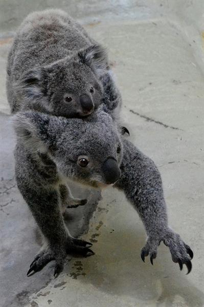 Koalas have sharp claws.