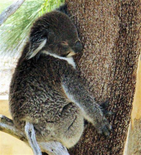 Koalas have lower energy levels.