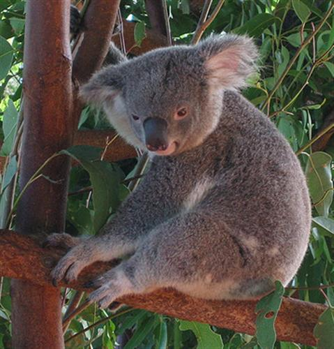 Koalas' food has limited energy and nutrition.