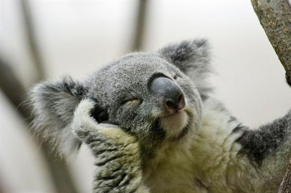 Koalas' facial expressions are unique.