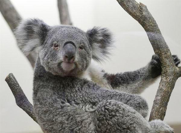 A relaxed expression of a Koala.