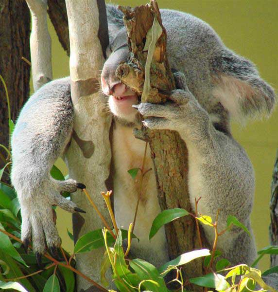 Koalas' fertility and diseases.