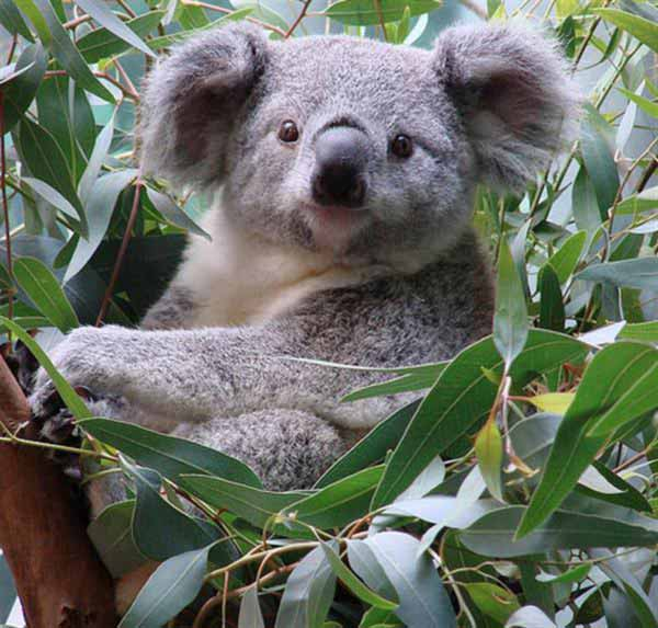 koalas' fertility disturbance.