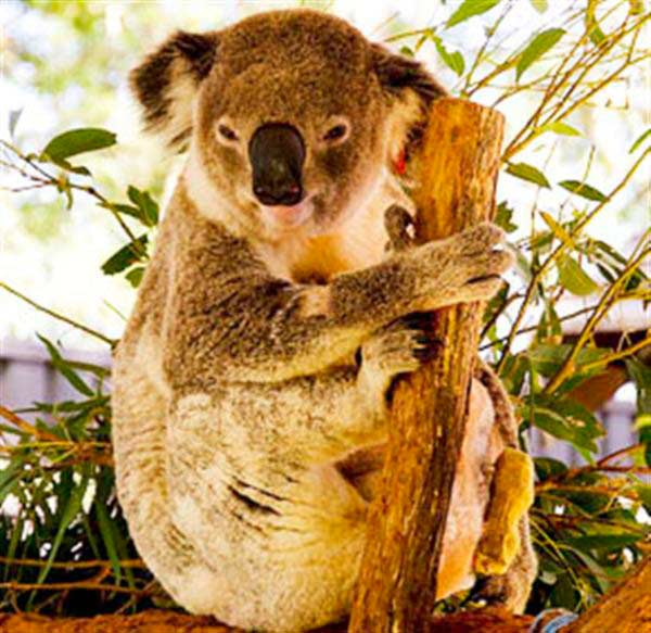Factors influencing Koalas' fertility.