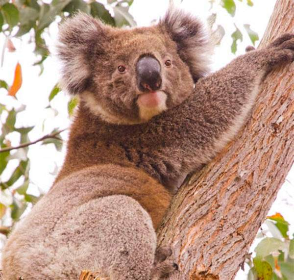 Koalas' fertility success.