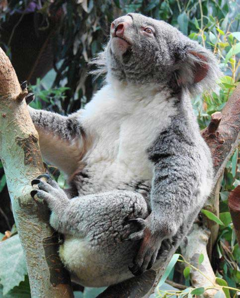 Koala fur helps to maintain body temperatures.