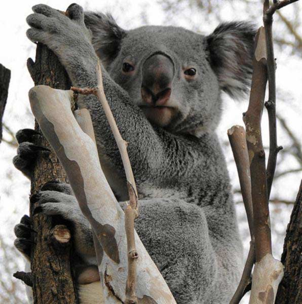 Koalas' fur saves their body energies.