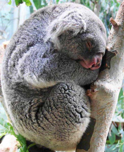 Koalas' fur is Specifically Built to Get Rid of Rain Water