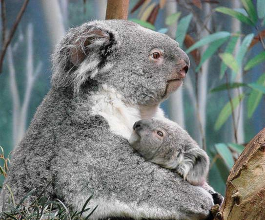 Koala Joeys weigh 1 gram at birth.