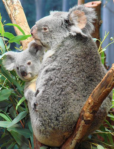 Picture of a Koala Joey with its mother.